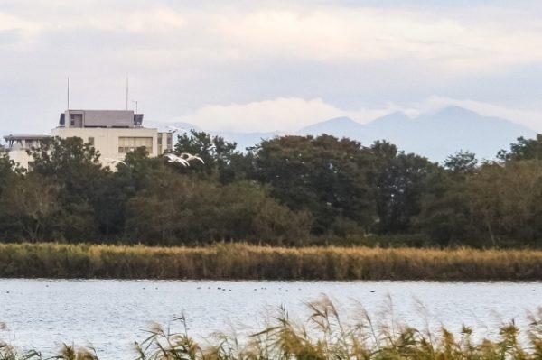 鳥屋野潟公園の白鳥
