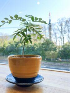 食べれる植物カレーリーフ